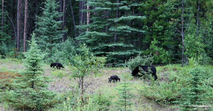 bears-jasper-national-park-5